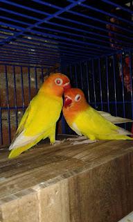penyebab lovebird tidak mau masuk glodok