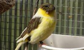 Masalah (penyakit) Burung Kicau Dan Cara Mengobatinya