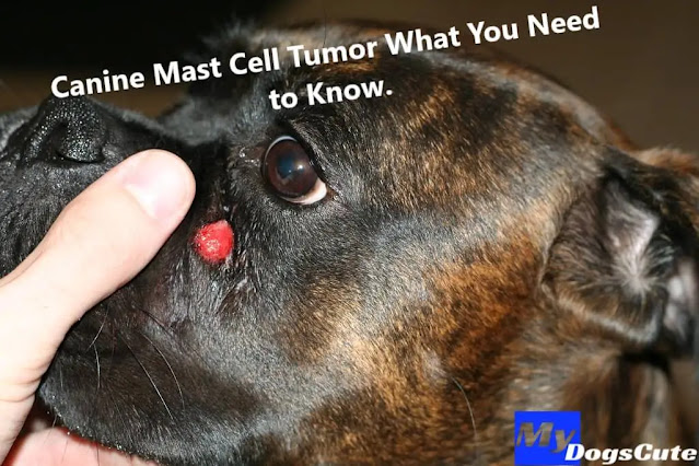 mast cell tumor mast cell tumor dog life expectancy mast cell tumor dog life expectancy without surgery mast cell tumor dog hind leg mastocytoma in dogs mast cell tumor dog life expectancy grade 2 mast cell tumor on dog paw subcutaneous mast cell tumor dog mast tumor dog mct in dogs stage 1 mast cell tumor dog mast cell tumour dog mast cell sarcoma mast cells in dogs mast cell tumor boxer mast cell tumor dog life expectancy grade 3 dog tumor growing rapidly mast cell carcinoma in dogs grade 3 mast cell tumor dog prognosis mast cell tumor human ulcerated mast cell tumor dog grade 2 mast cell tumor dog cutaneous mast cell tumor dog high grade mast cell tumor dog mast cell tumor dog itching mast cell tumor boston terrier mast cell tumor removal dog mast cell tumor cats mast cell tumor dog ear small mast cell tumor dog