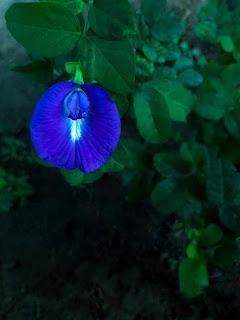 blue aprajita