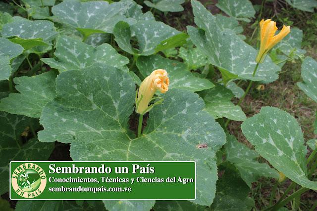 flor masculina de la calabaza