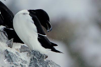 Alca común - Razorbill - Alca torda. Ejemplar adulto con plumaje de verano. Raya vertical blanca en el pico y brida blanca hasta los ojos.