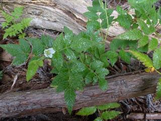 Rubus rosifolius - Framboisier d'Asie