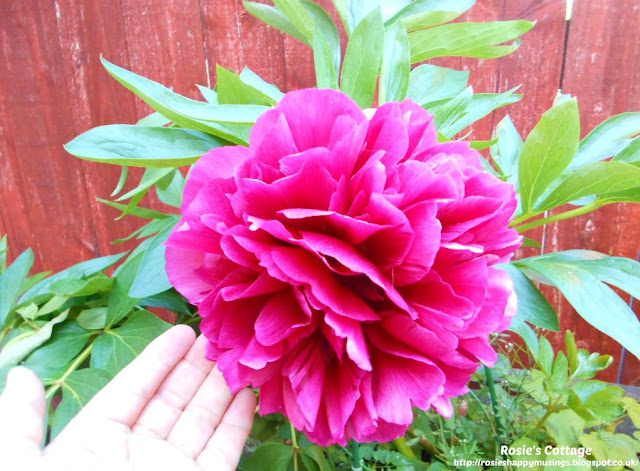 Being blessed by our garden: Isn't this a pretty peony honeys?