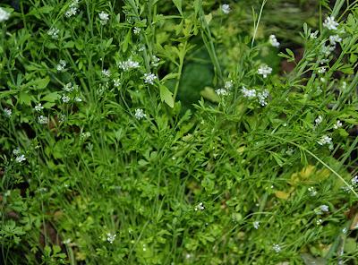 Κάρδαμο: σπορά φύτεμα καλλιέργεια