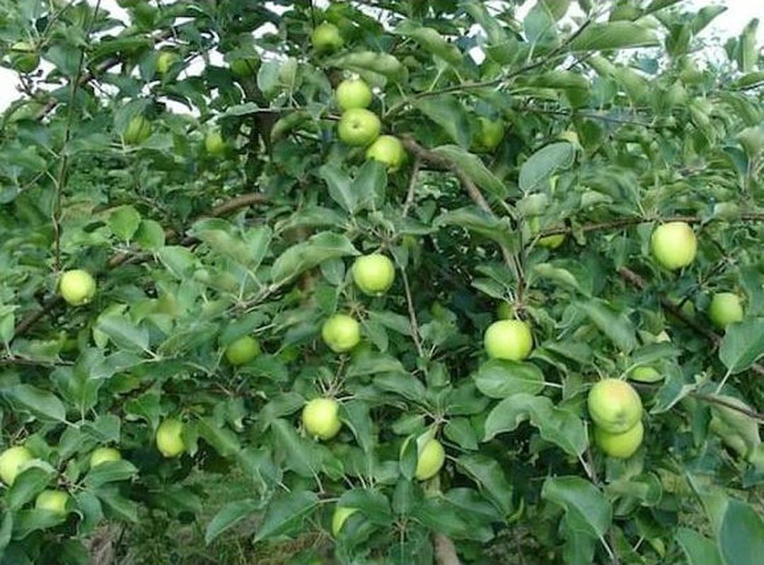 Obral! Bibit Tanaman Buah Apel Manalagi Segar Kota Surabaya #jual bibit buah buahan