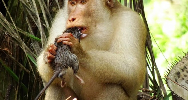 Monkeys were caught eating rats in a palm oil plantation in Malaysia