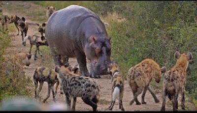 Antara kuda nil, hyena, kawanan anjing liar dan impala.