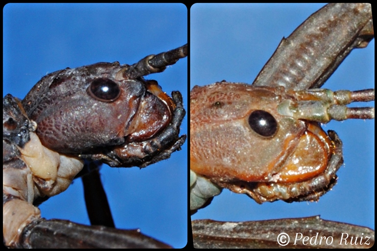 Detalle de la cabeza de una hembra y un macho de Eurycantha calcarata