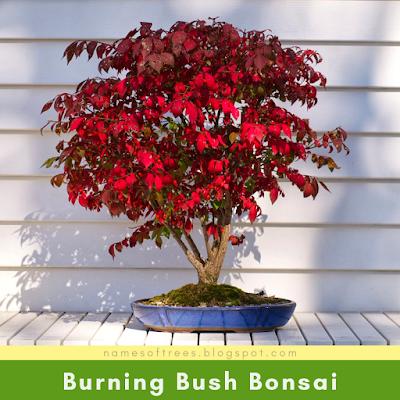 Burning Bush Bonsai