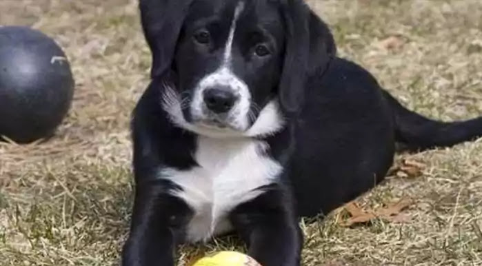 Borador Dog Breed