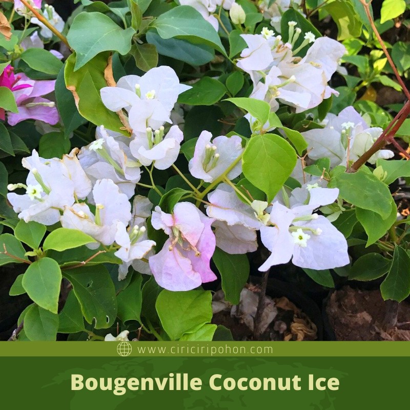 Bougenville Coconut Ice