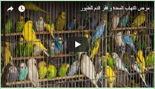 مرض التهاب المعدة و فقر الدم للطيور