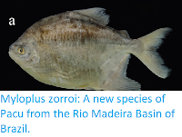 http://sciencythoughts.blogspot.co.uk/2016/04/myloplus-zorroi-new-species-of-pacu.html