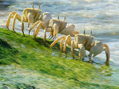 Kepiting Langka Di Socotra
