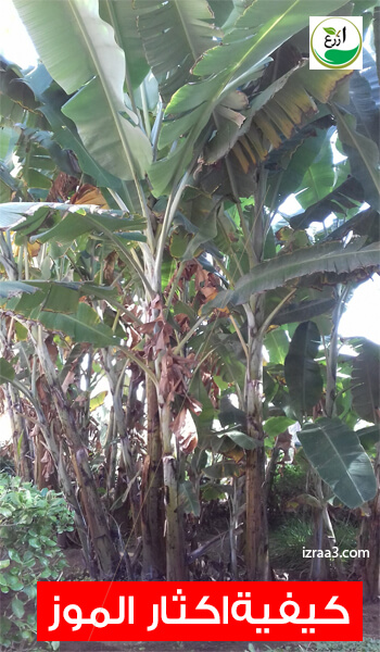 زراعة شجرة الموز في المنزل