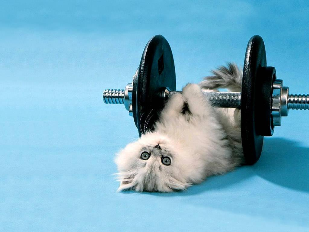 Funny gym cat  HD Wallpapers