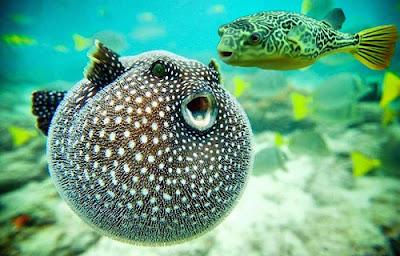 Blowfish,Puffer fish