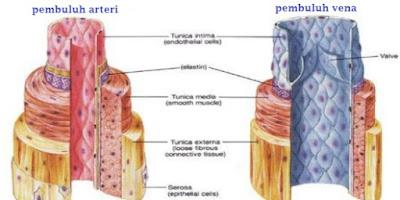 perbedaan-arteri-dan-vena