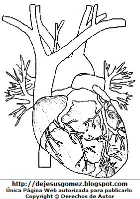Imagen del corazón del cuerpo humano para dibujar, colorear o pintar. Dibujo del corazón de Jesus Gómez