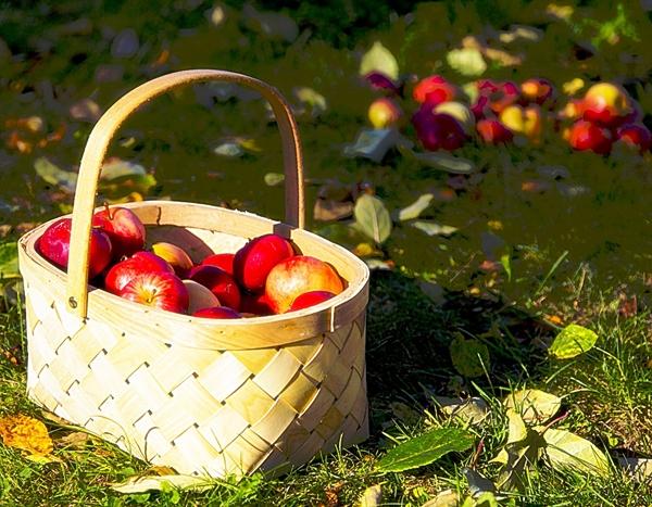 Mam to szczęście, że mieszkam w mieście, gdzie jest całkiem sporo dziko rosnących jabłoni, ale może i Wam się uda znaleźć jakąś jabłoń lub gruszę. Nawet jeśli ich owoce nie będą na tyle smaczne by jeść je surowe, można z nich przygotować dżem, kompot, mus do szarlotki czy dodać do deseru.