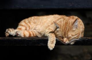 L'ipoglicemia nel gatto