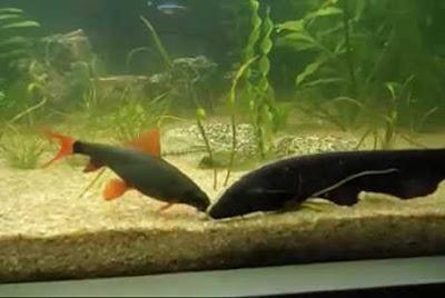 Menggabung Ikan Black Ghost Dengan ikan Lain