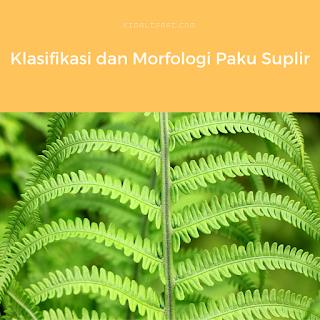 Klasifikasi Paku Suplir dan Morfologi Paku Suplir