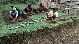 Pasang rumput gajah mini di malang, rumput hidup yang cocok untuk taman rumah tinggal tahun 2021