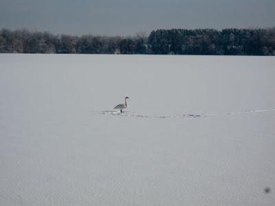 Bone Lake swan