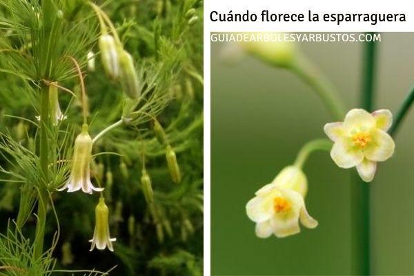 La Esparraguera florece en primavera, sus flores son pequeñas de unos 5 mm.