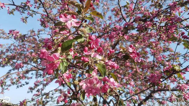 розовые цветы на голубом фоне