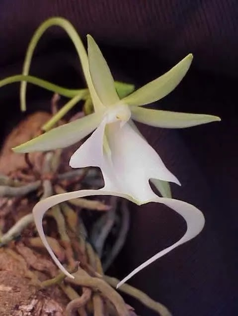 Apparition Orchid | Garden Bible