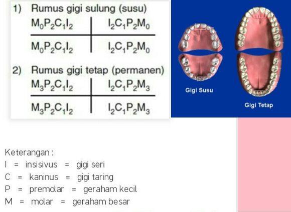 Rumus Pertumbuhan Gigi