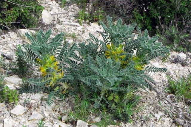 Astragalus là gì  ? Lợi ích và liều lượng sử dụng