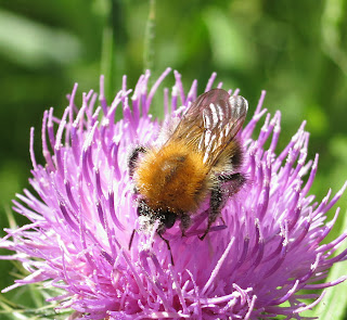 Common Carder Bee (Bombus (Thoracombus) on a Thistle