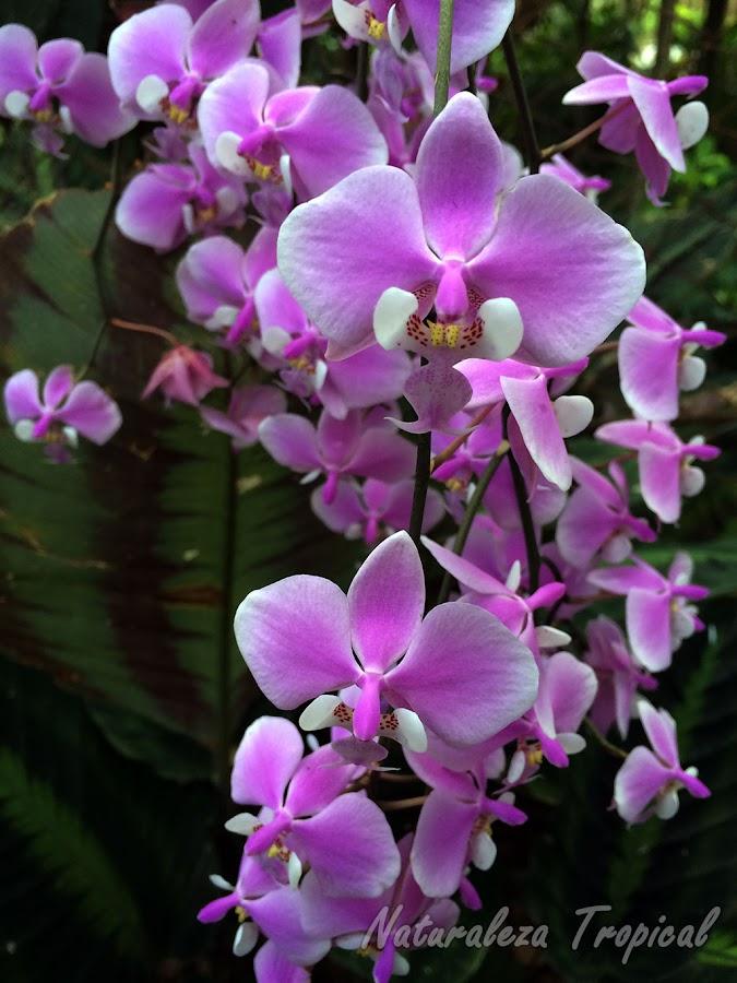 Muchos géneros de orquídea exigen el cultivo en interiores para su buena salud, crecimiento y floración. Las famosas orquídeas Mariposas son unas de ellas, género Phalaenopsis
