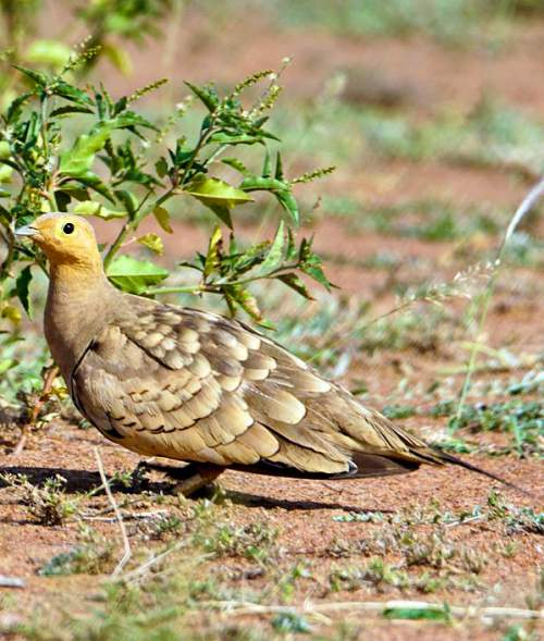 Indian birds - Image of Chestnut-bellied sandgrouse - Pterocles exustus