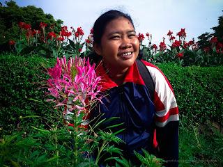 Enjoy Beautiful Garden With Pink Spider Flower Cleome Hassleriana At Ulun Danu Bratan, Tabanan, Bali, Indonesia