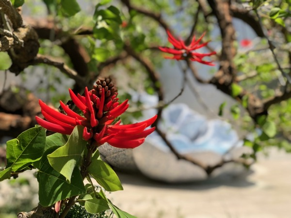 Erythrina Coral tree flower