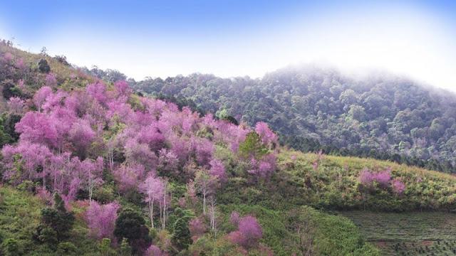 Chùm ảnh đẹp Hoa Anh Đào Nhật Bản vào tháng 02/2020 4