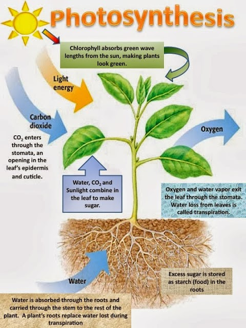 Federation Student Of Biology Fotosintesis Pada Tumbuhan Serta Reaksi Terang Dan Reaksi Gelap