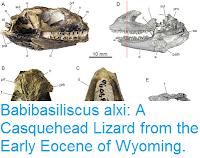 http://sciencythoughts.blogspot.co.uk/2015/07/babibasiliscus-alxi-casquehead-lizard.html