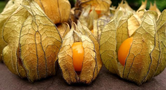 """physalis... a fruta que faz milagres pela nossa saúde. Conhecida pela fruta """"mágica"""" pode cultivar-se num vaso na sua varanda...."""