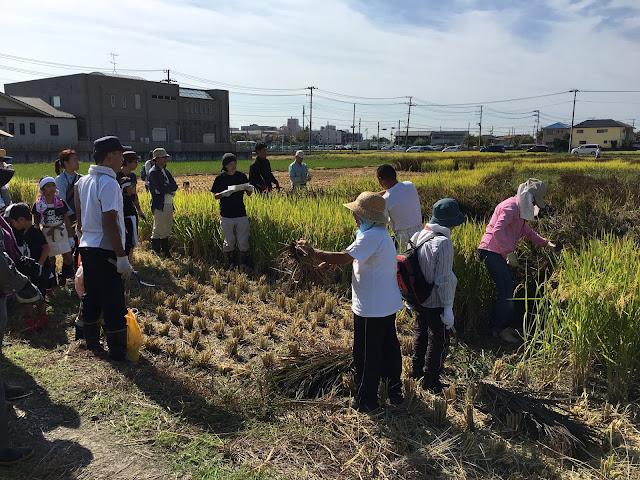 こしがや田んぼアート2015食戟のソーマ(収穫祭・稲刈り体験)