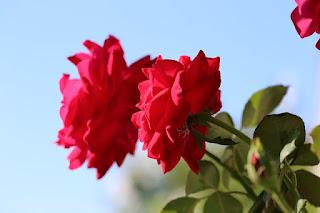 Gambar bunga mawar merah paling harum