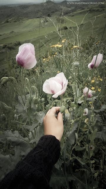 Papaver Somniferum, Opium Poppy, Adormidera
