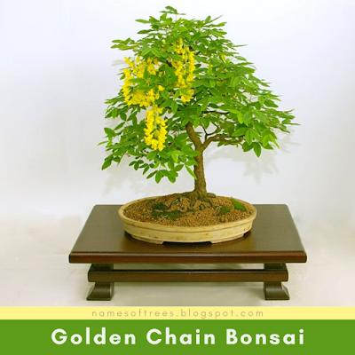 Golden Chain Bonsai