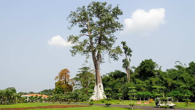 The tallest Ceiba tree in Malabo