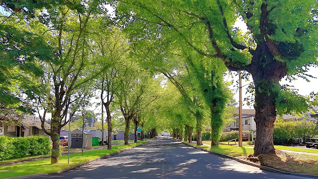A summer canopy of green over a Parksville street...